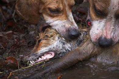 fox hunting barbaric British prime minister theresa may said sunday she will ditch an election pledge for a vote on reversing the fox-hunting ban following a public backlash i've never fox hunted but labour leader jeremy corbyn has called the sport cruel and barbaric.